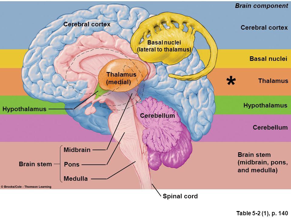 brain thalamus function - photo #25
