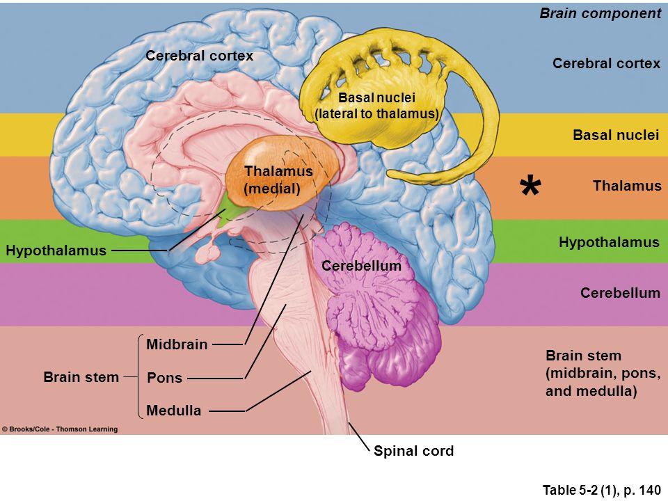brain thalamus function - photo #25