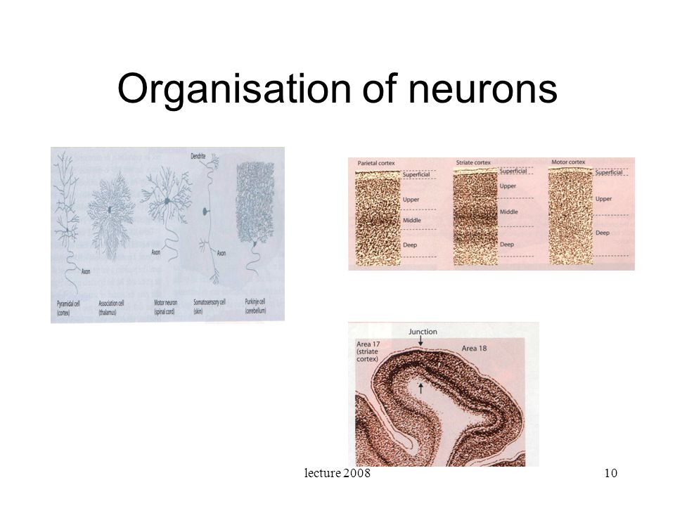 Organisation of neurons