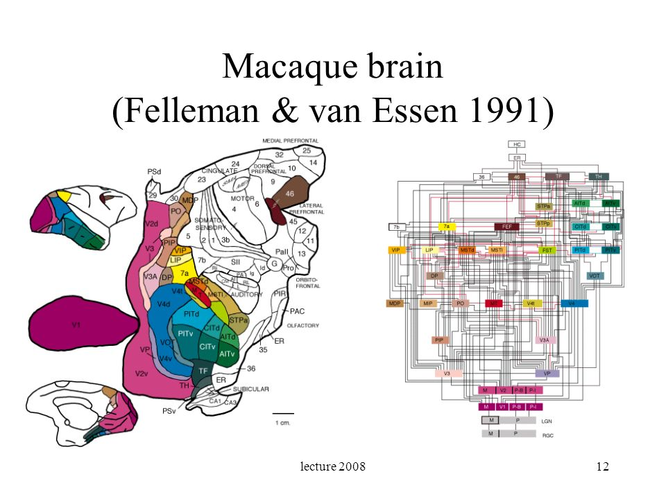Macaque brain (Felleman & van Essen 1991)