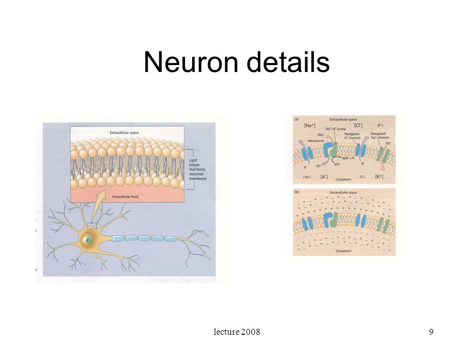 Neuron details lecture 2008