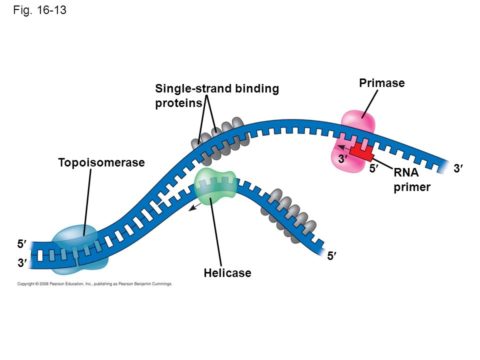 a description of dna replication Replication is the process in which a cell makes an exact copy of its own dna (copy dna - dna) replication occurs in the s-fase in preparation to cell division during which the genetic information for the synthesis of proteins is transfered from the mothercell to the daughtercell.