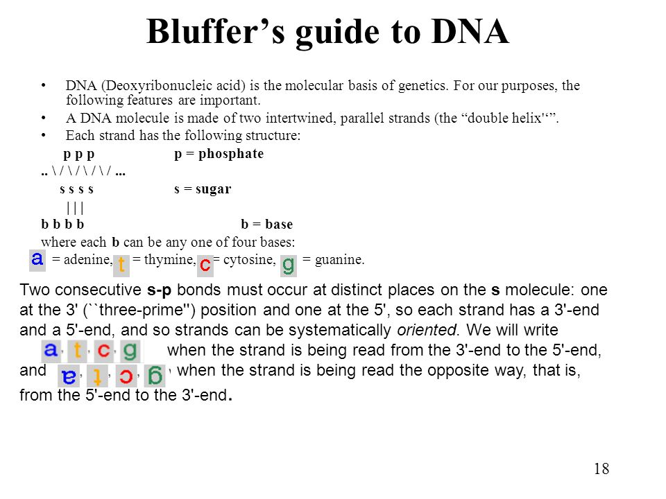 Bluffer's guide to DNA DNA (Deoxyribonucleic acid) is the molecular basis of genetics. For our purposes, the following features are important.