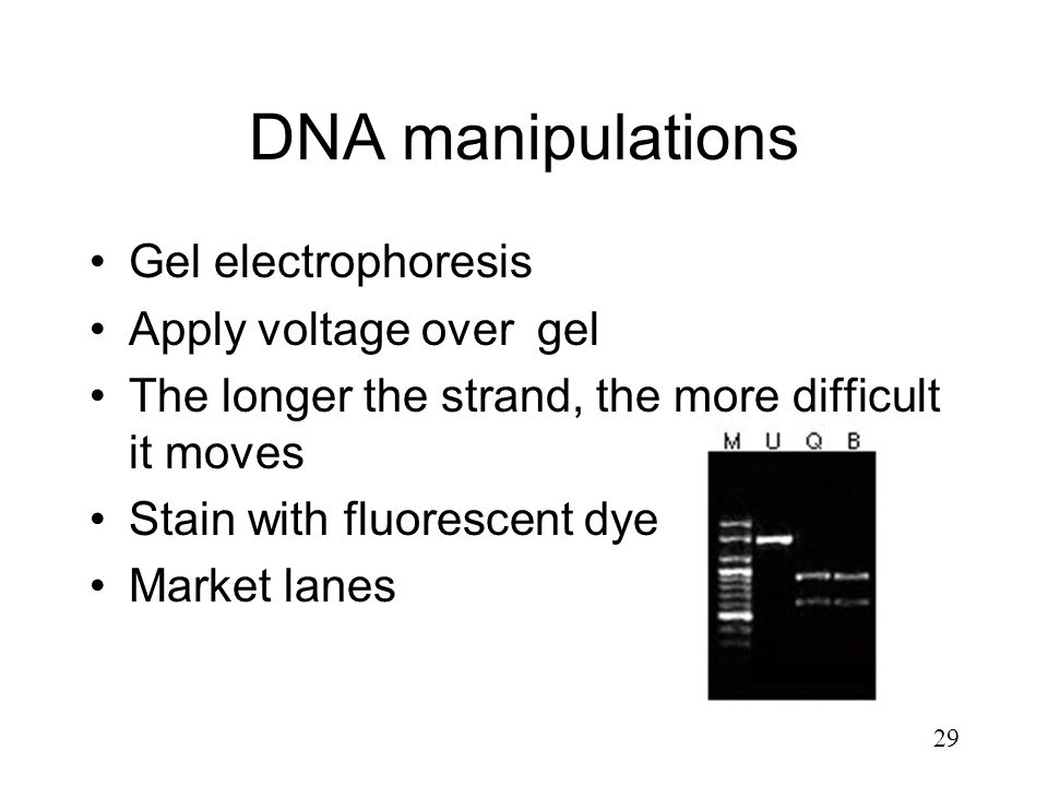 DNA manipulations Gel electrophoresis Apply voltage over gel