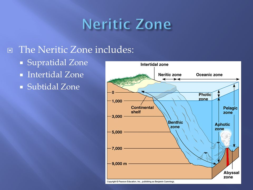 Neritic Zone The Neritic Zone includes: Supratidal Zone