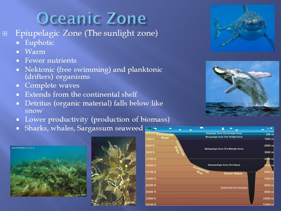 Oceanic Zone Epiupelagic Zone (The sunlight zone) Euphotic Warm