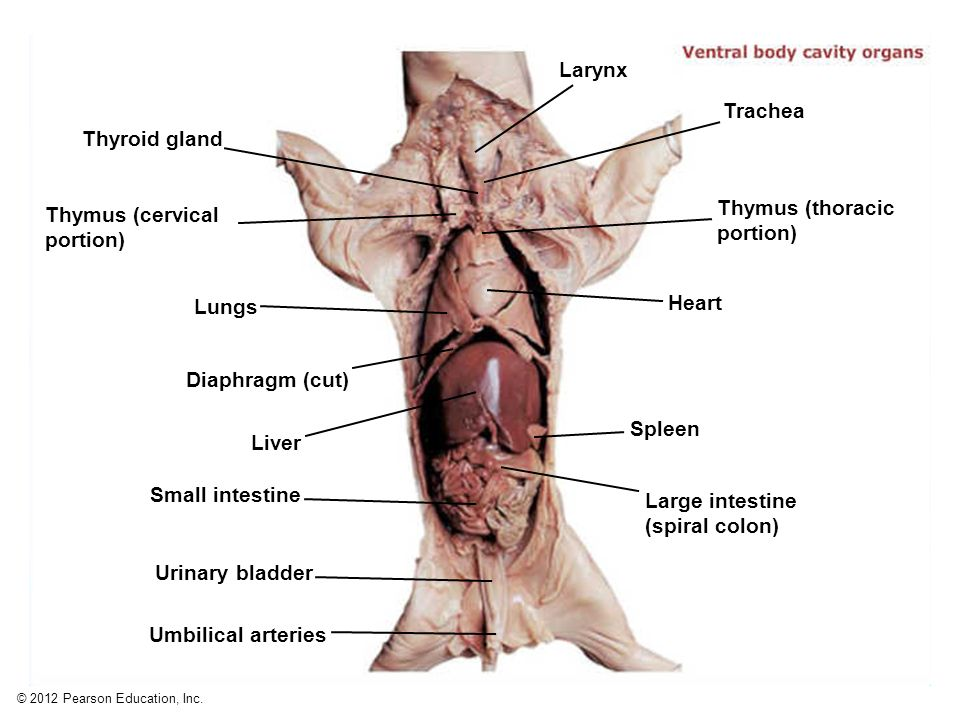 Rat Thymus Anatomy Diagram - Wiring Diagram News •