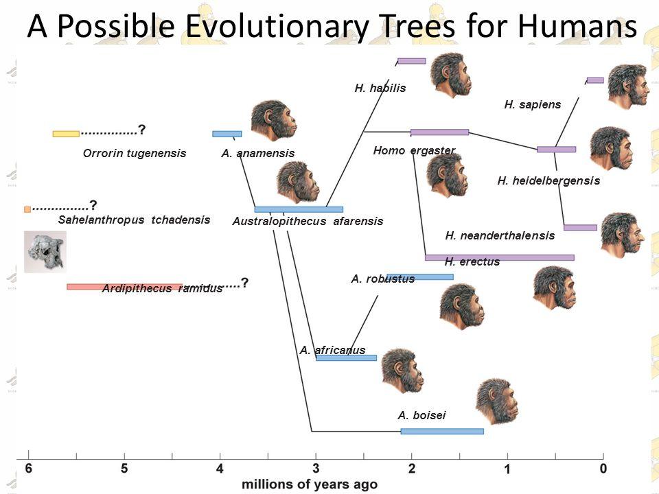 Homo Erectus Evolutionary Tree | www.pixshark.com - Images ...
