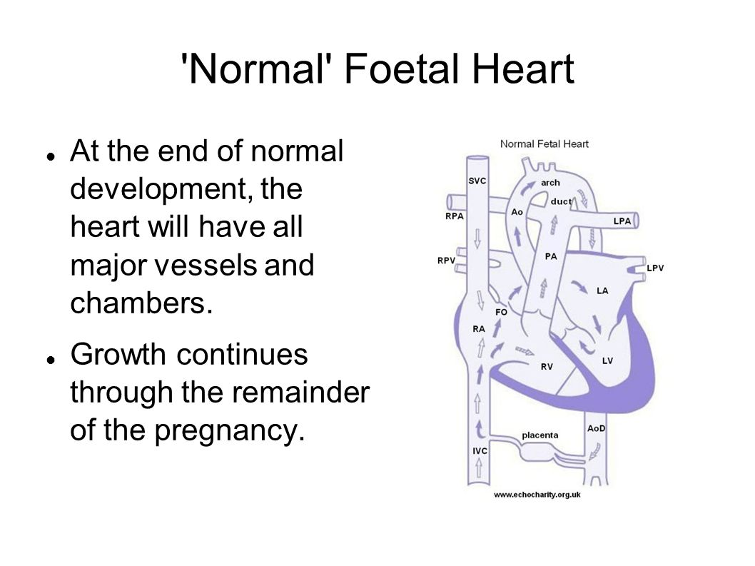 Normal Foetal Heart At the end of normal development, the heart will have all major vessels and chambers.