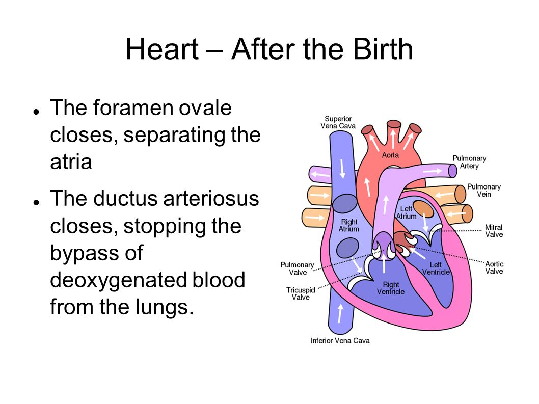 Heart – After the Birth The foramen ovale closes, separating the atria