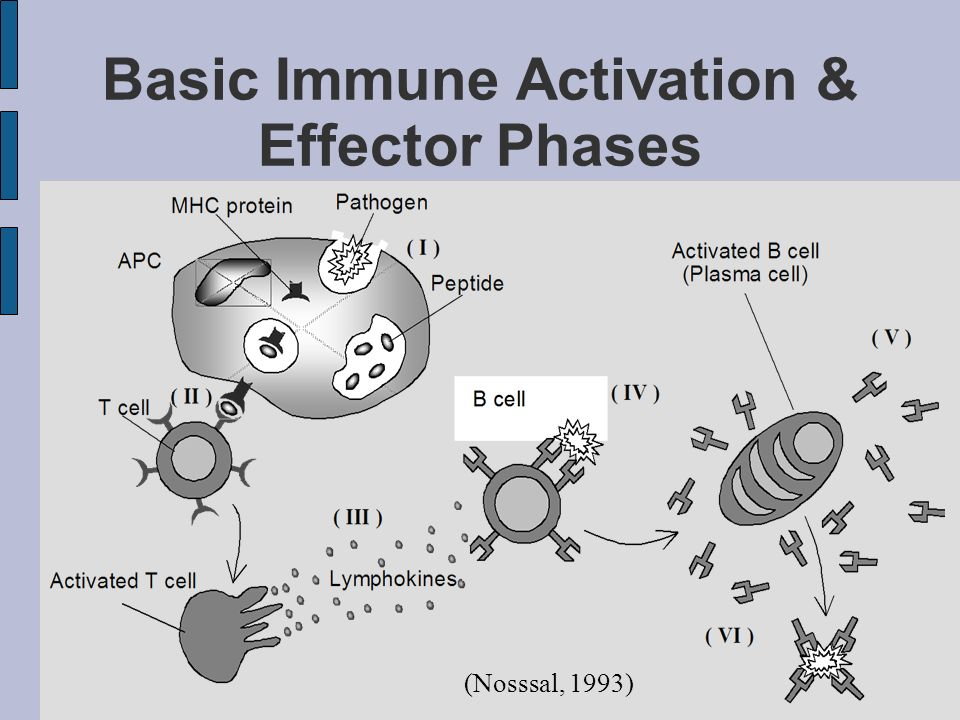 Basic Immune Activation & Effector Phases