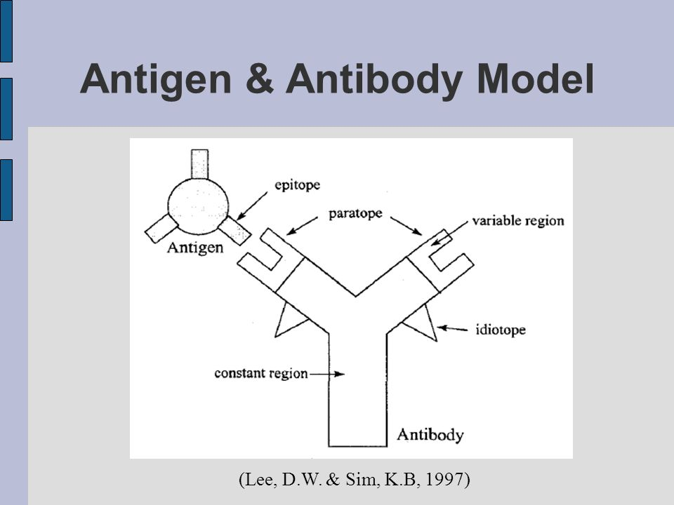 Antigen & Antibody Model