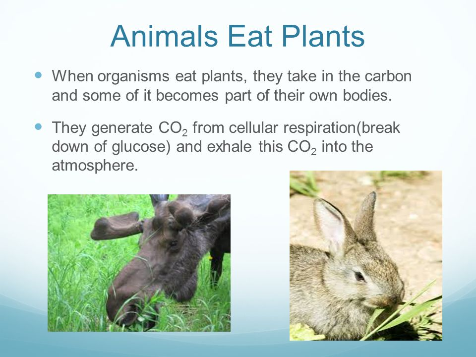 Animals Eat Plants When organisms eat plants, they take in the carbon and some of it becomes part of their own bodies.