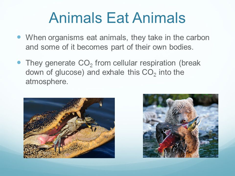 Animals Eat Animals When organisms eat animals, they take in the carbon and some of it becomes part of their own bodies.