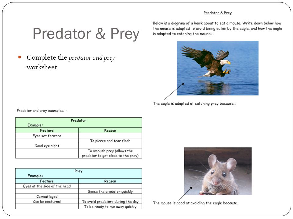 Worksheets Predator Prey Worksheet predators prey lo understand and identify adaptations of 8 predator complete the worksheet