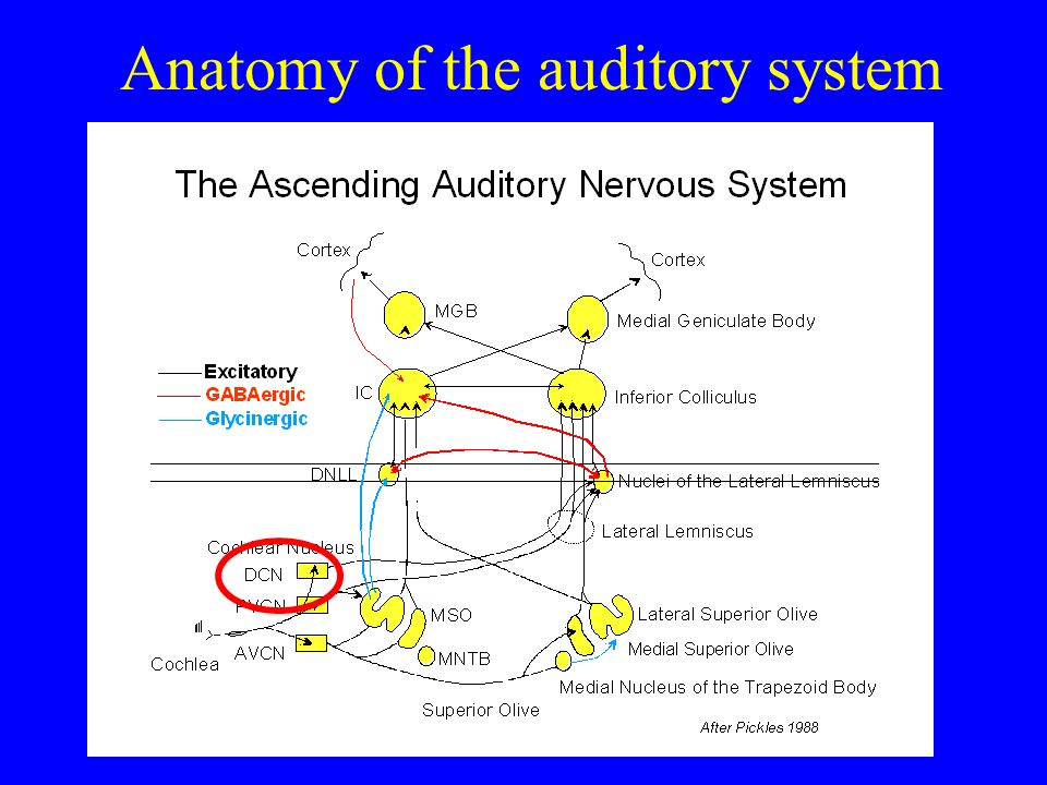 Anatomy of the auditory system