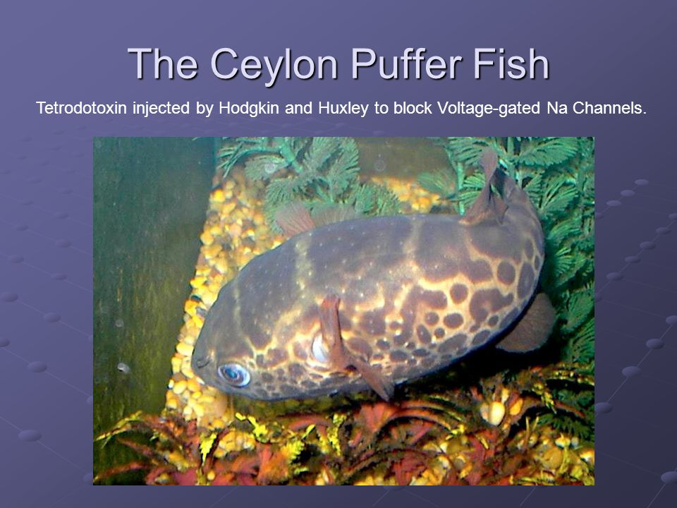 The Ceylon Puffer Fish Tetrodotoxin injected by Hodgkin and Huxley to block Voltage-gated Na Channels.