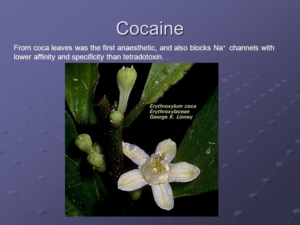 Cocaine From coca leaves was the first anaesthetic, and also blocks Na+ channels with lower affinity and specificity than tetradotoxin.