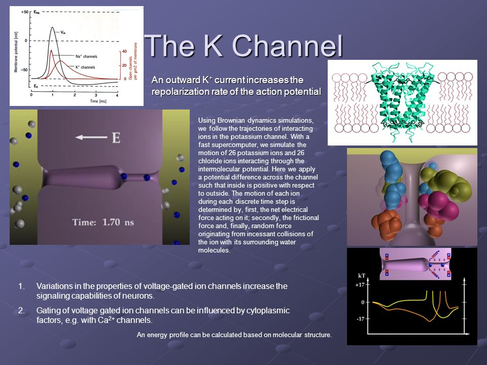 The K Channel An outward K+ current increases the repolarization rate of the action potential.