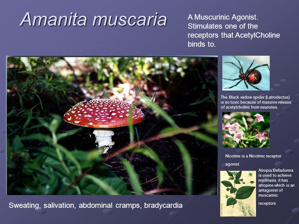 Amanita muscaria A Muscurinic Agonist. Stimulates one of the receptors that AcetylCholine binds to.