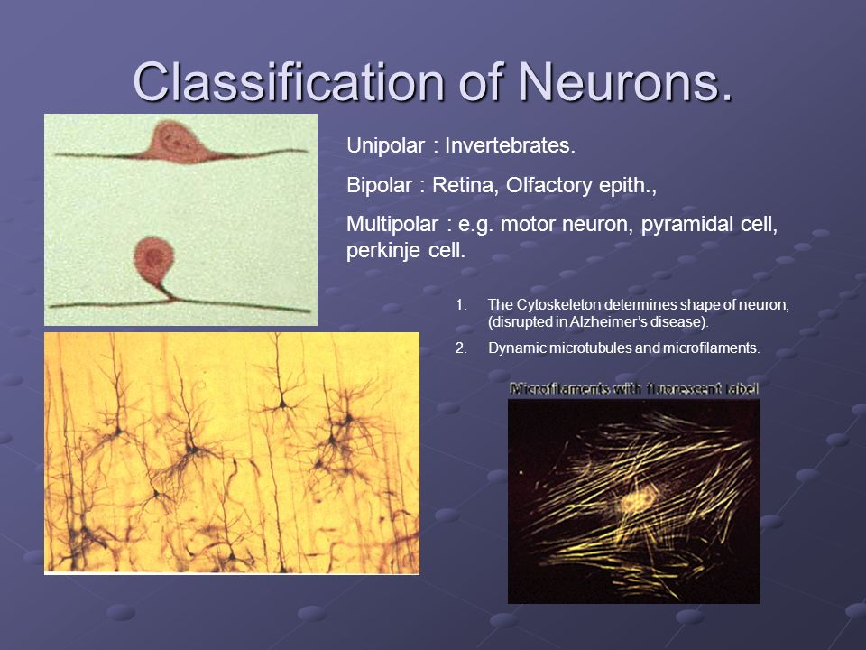Classification of Neurons.