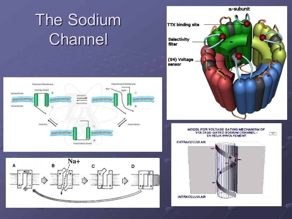 The Sodium Channel