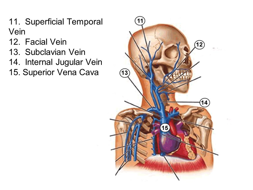 11. Superficial Temporal Vein