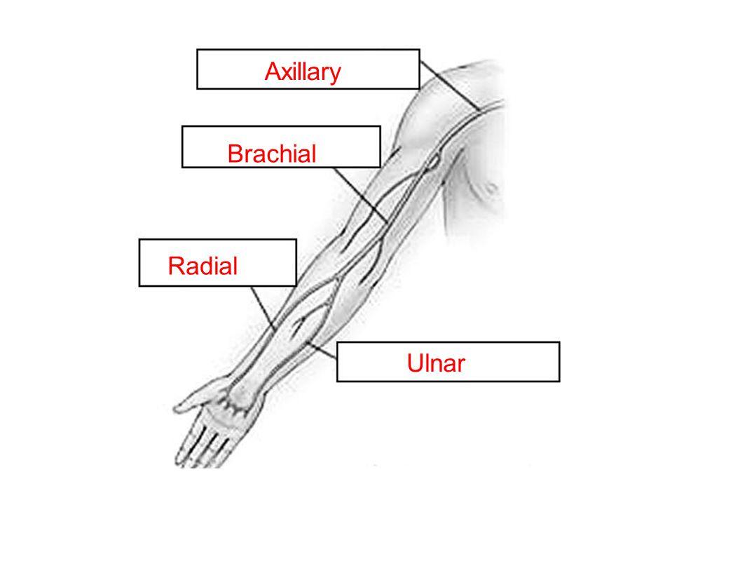 Axillary Brachial Radial Ulnar