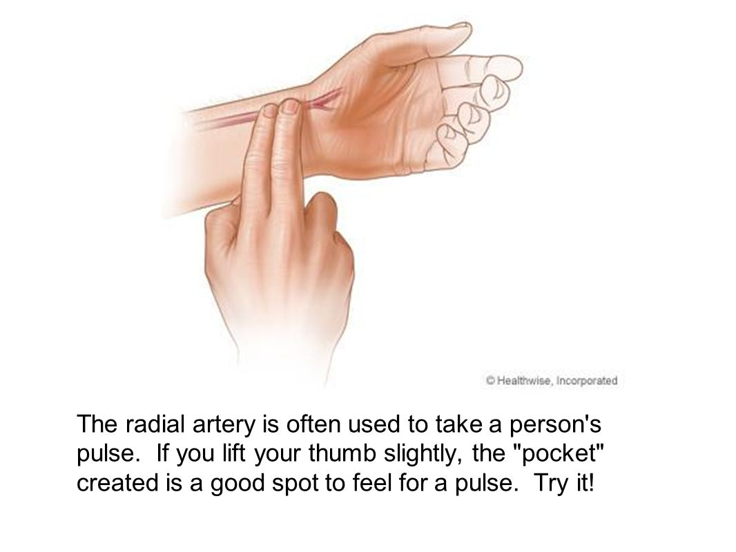 The radial artery is often used to take a person s pulse