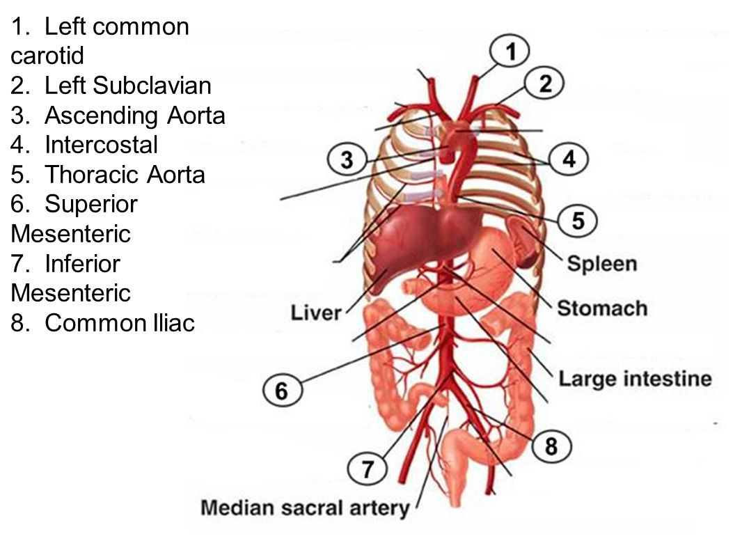 1. Left common carotid 2. Left Subclavian. 3. Ascending Aorta. 4. Intercostal. 5. Thoracic Aorta.