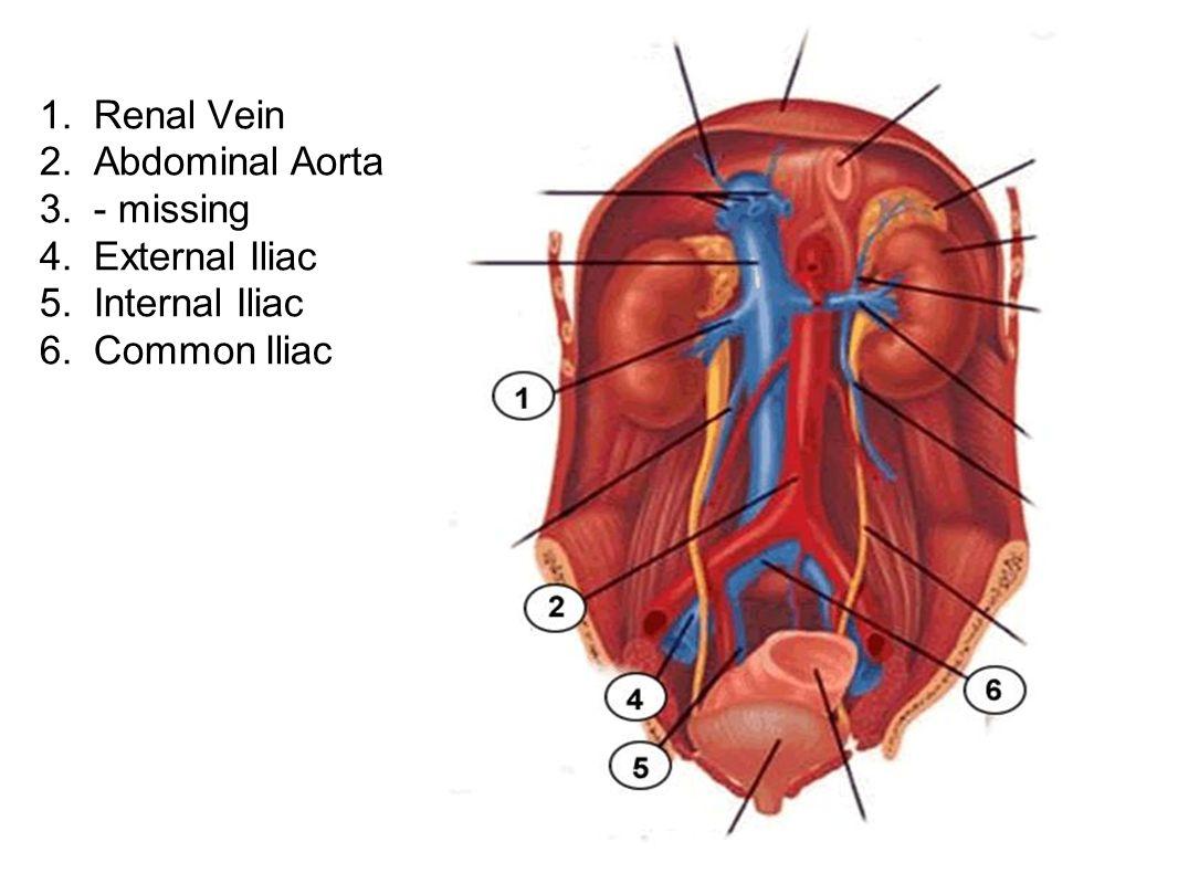 1. Renal Vein 2. Abdominal Aorta. 3. - missing.