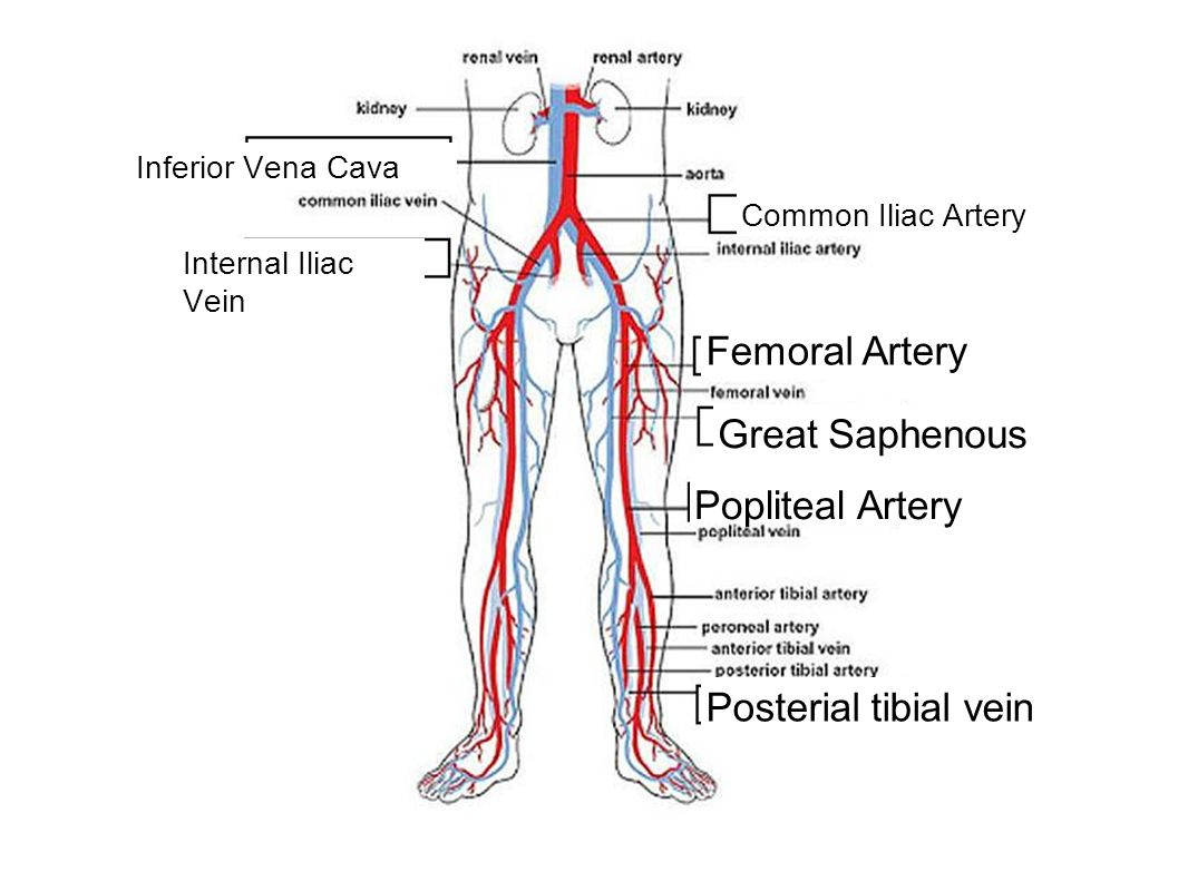 Femoral Artery Great Saphenous Popliteal Artery Posterial tibial vein