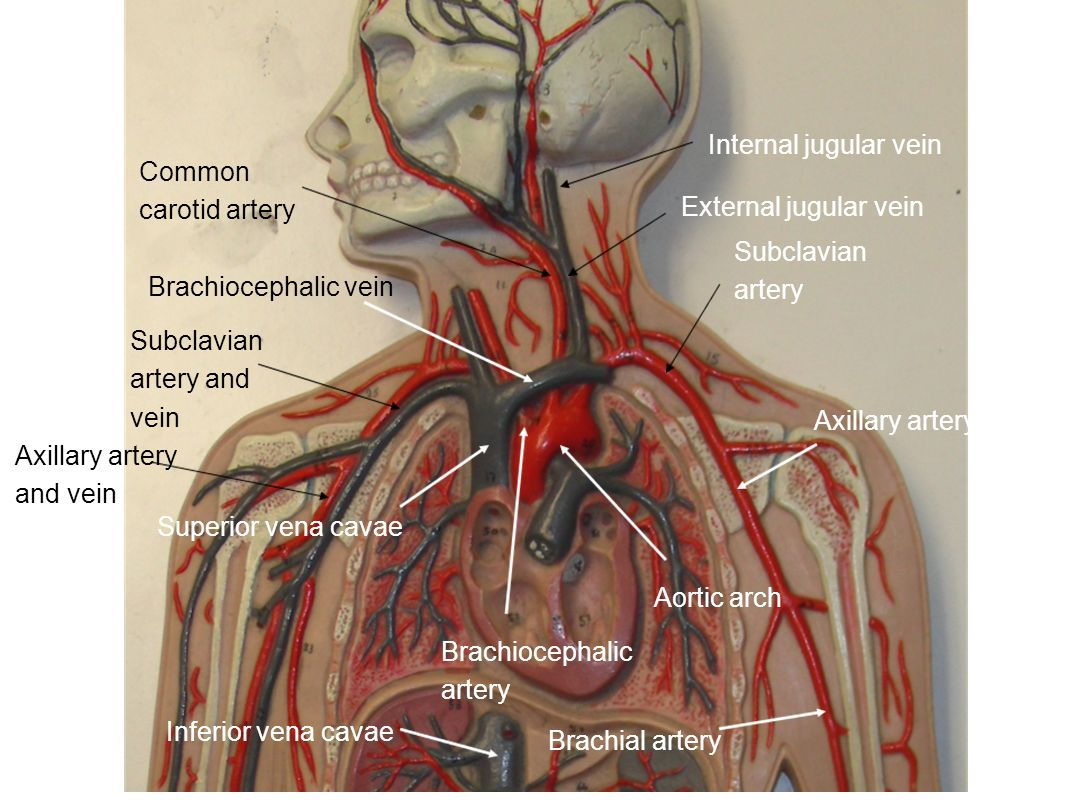 Internal jugular vein Common carotid artery. External jugular vein. Subclavian artery. Brachiocephalic vein.