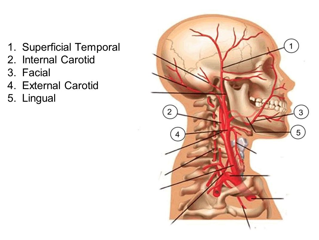 1. Superficial Temporal 2. Internal Carotid 3. Facial 4. External Carotid 5. Lingual