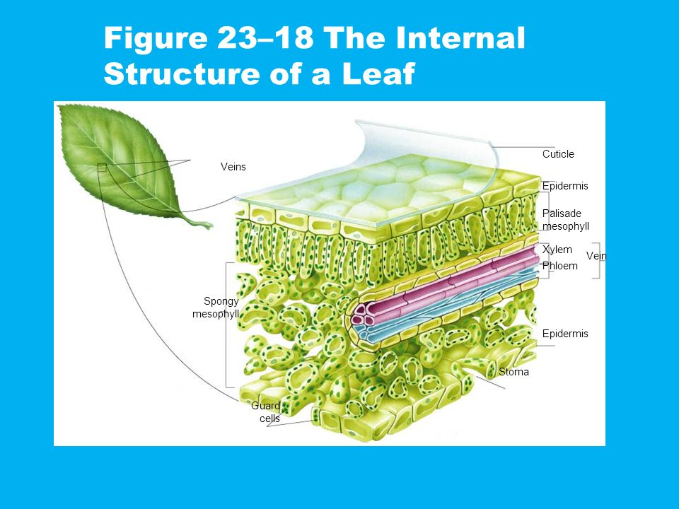 Figure 23–18 The Internal Structure of a Leaf