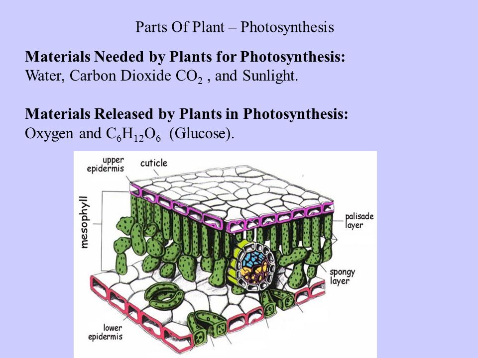 Parts Of Plant – Photosynthesis