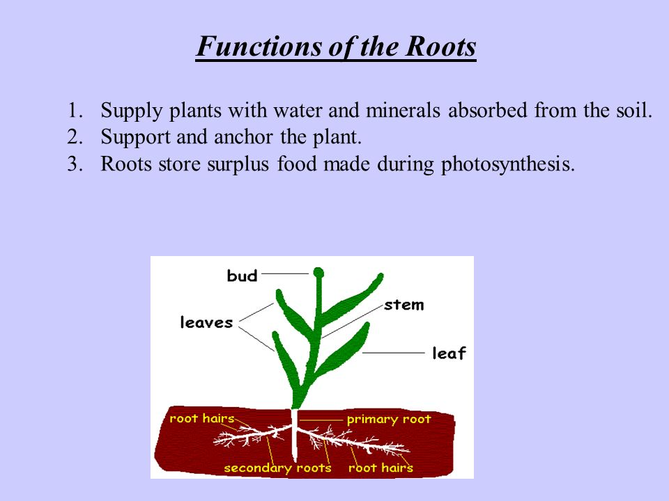 Functions of the Roots Supply plants with water and minerals absorbed from the soil. Support and anchor the plant.