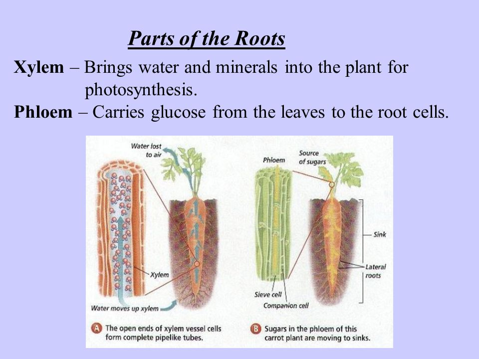 Parts of the Roots Xylem – Brings water and minerals into the plant for. photosynthesis.