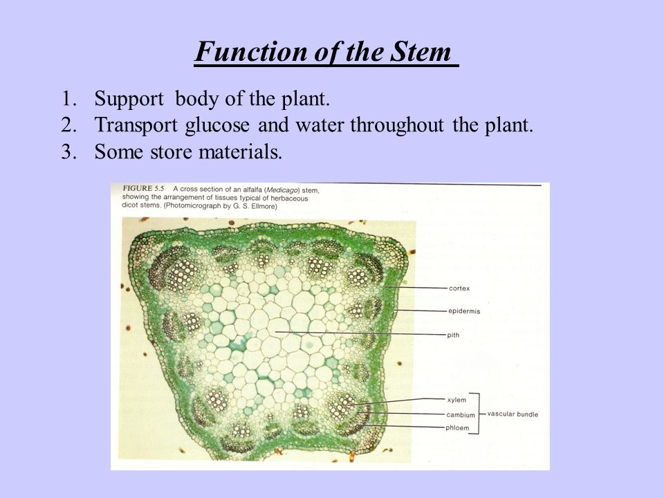 Function of the Stem Support body of the plant.