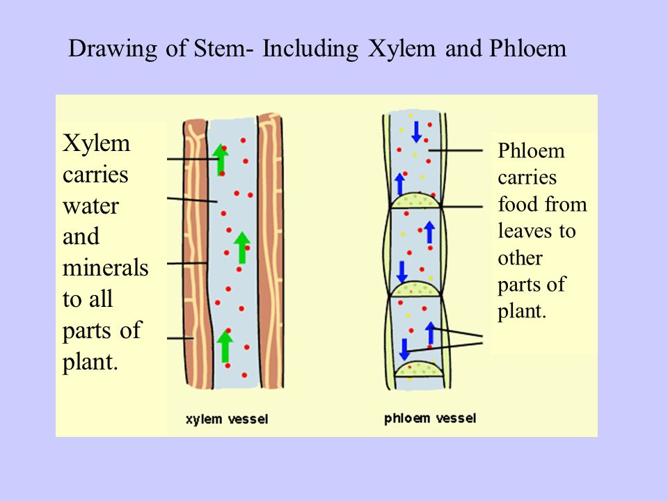 Drawing of Stem- Including Xylem and Phloem