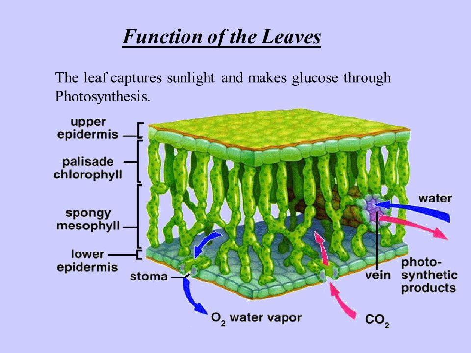 Function of the Leaves The leaf captures sunlight and makes glucose through Photosynthesis.