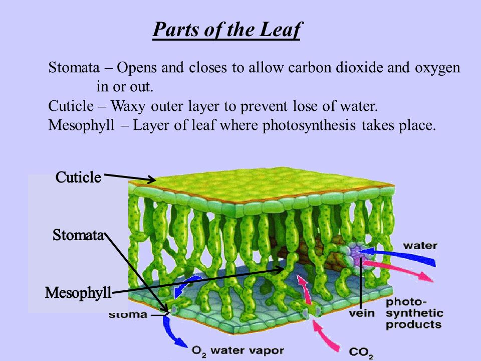 Parts of the Leaf Stomata – Opens and closes to allow carbon dioxide and oxygen. in or out. Cuticle – Waxy outer layer to prevent lose of water.