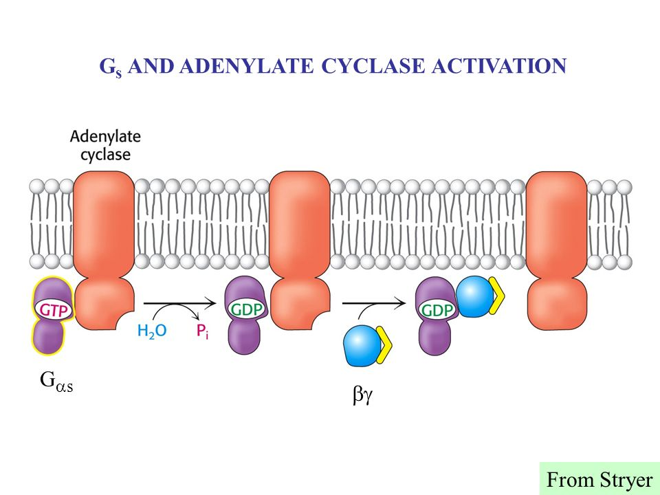 Gs AND ADENYLATE CYCLASE ACTIVATION