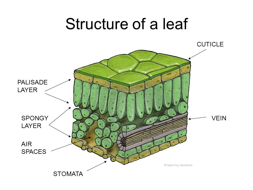layers of a leaf diagram leaves and photosynthesis - ppt video online download layers of abdominal wall diagram