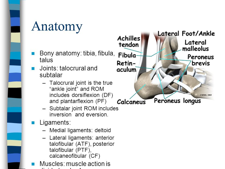 Ankle and lower leg anatomy