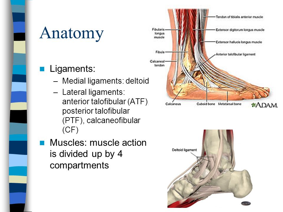 Deltoid ligament anatomy