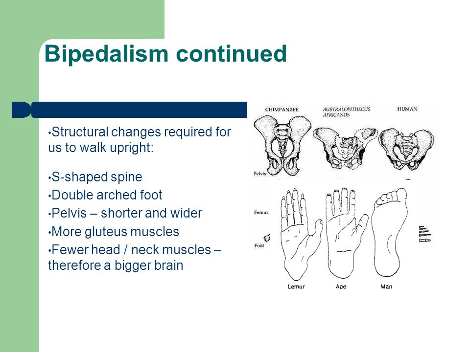 bipedalism advantages and disadvantages of being bipedal Being able to see over  we have already looked at some of the advantages of a bipedal  this may have resulted in self-accelerating push towards bipedalism.
