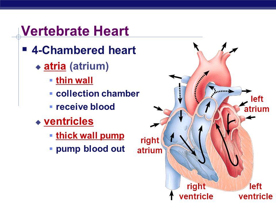 Circulatory System in ...