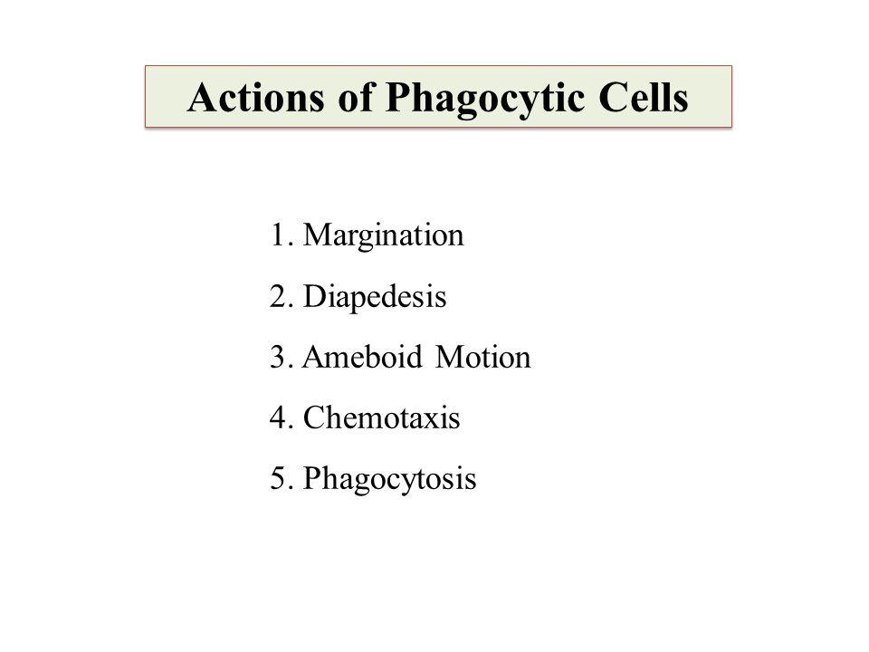 Actions of Phagocytic Cells