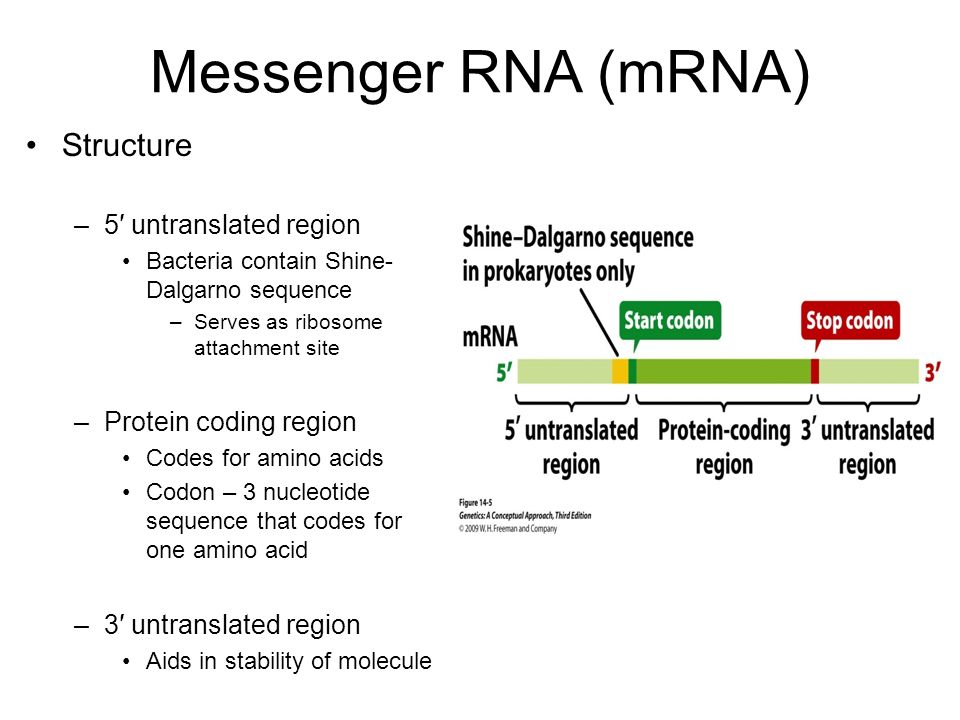 Chapter 14 – RNA molecules and RNA processing - ppt video ...